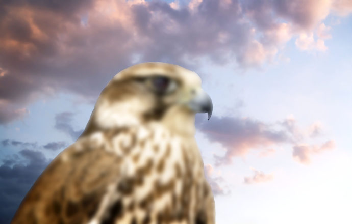 Beautiful Falcon contemplating sunset. The power of nature.